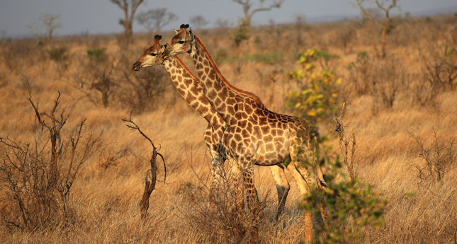 a guidebook to kruger national park in south africa Meet the illustrious big five on a kruger national park safari that  conservation area in south africa the kruger park is one of the  sky guide private .
