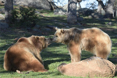 Rescued grizzly bear siblings Albert and Cherry