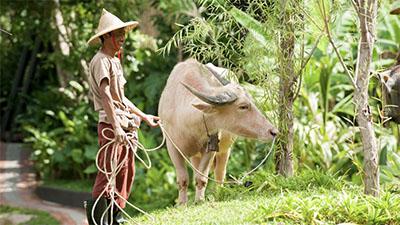 Rescued buffalo at Keemala Resort & Spa in Thailand