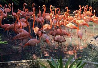 Flamingos at Bermuda Aquarium and Zoo