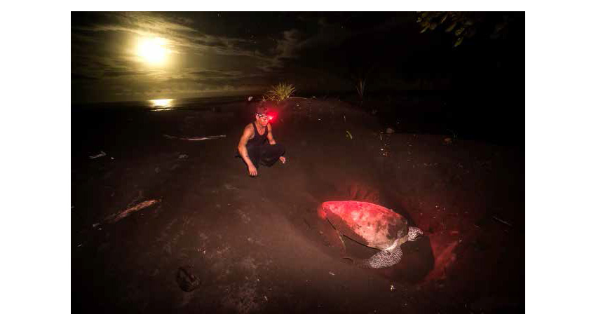 A Sea Turtle Conservancy research assistant uses a red light so as to not disturb the turtle while making its nest