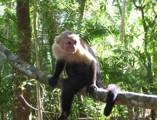 A capuchin monkey