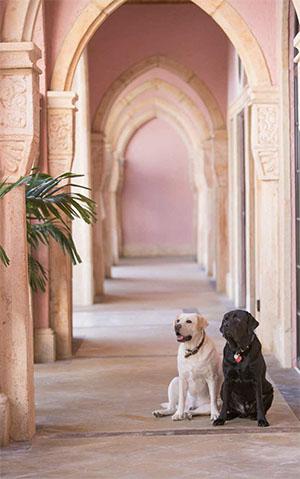 Boca Raton Resort's canine ambassadors Waddie (left) and Hays (right) © BOCA RATON RESORT