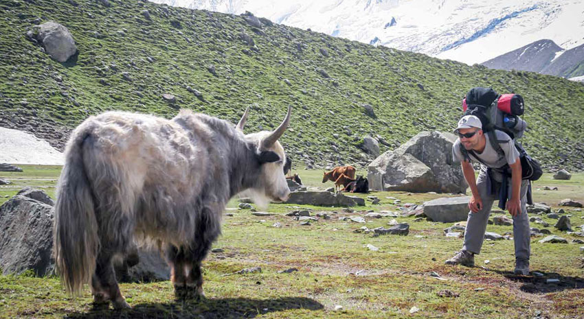 Backpacker making friends with a yak near Rakaposhi Base Camp in Karakoram Mountains, Pakistan