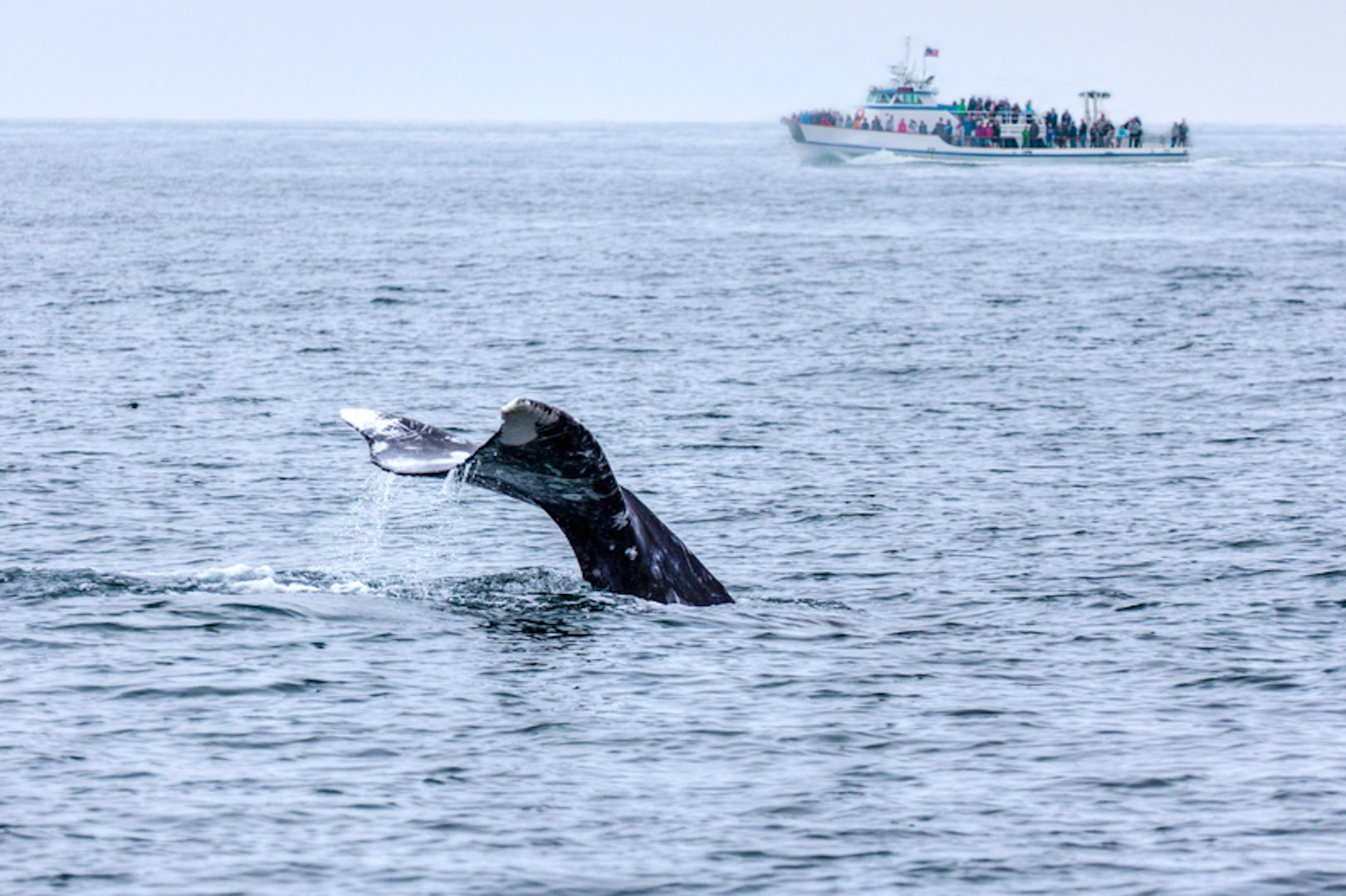 Whale Watching in Southern California © Ronniechua | Dreamstime.com