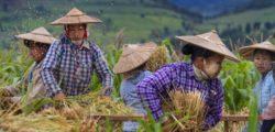 Rice Threshers near Sakar